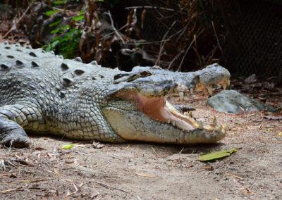 Crocodile Wildlife Habitat