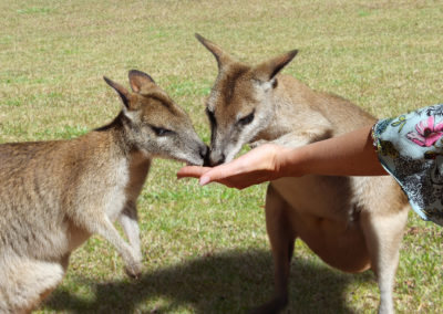 Feeding Wallabies At Rainforestation