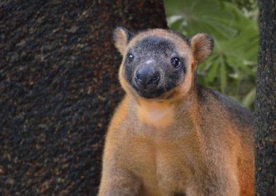 Lumholtzs Tree Kangaroo