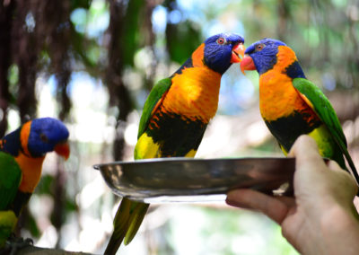 Lunch with the Lorikeets