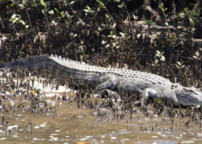 crocodile-on-johnstone-river