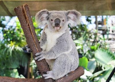 Koala-at-Cairns-ZOOM-Wildlife-Dome