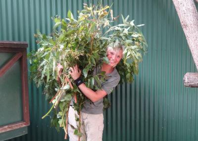 Volunteer-Program-Koala-Enclosure