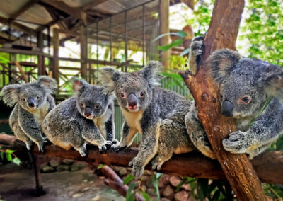 koalas-at-rainforestation-nature-park-kuranda