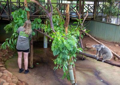 volunteer-in-koala-enclosure-rainforestation