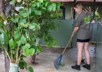 volunteer-raking-koala-enclosure