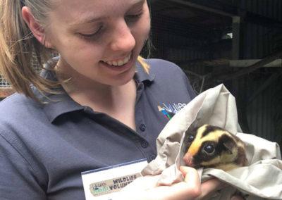 wildlife-habitat-volunteer-with-striped-possum